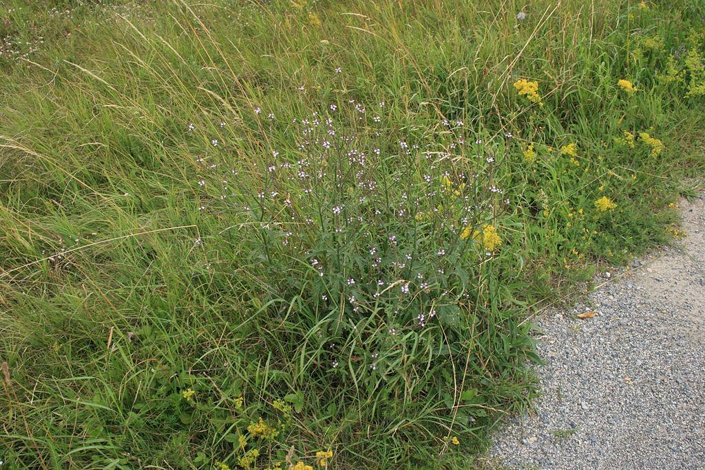 1024px Verbena officinalis habitat stenporse