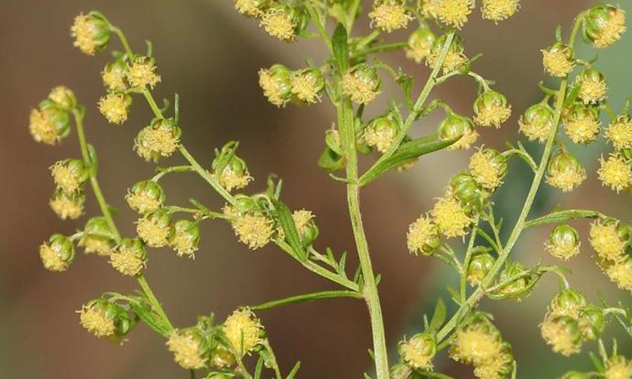Artemisia annua / Kristian Peters (Wikimedia)
