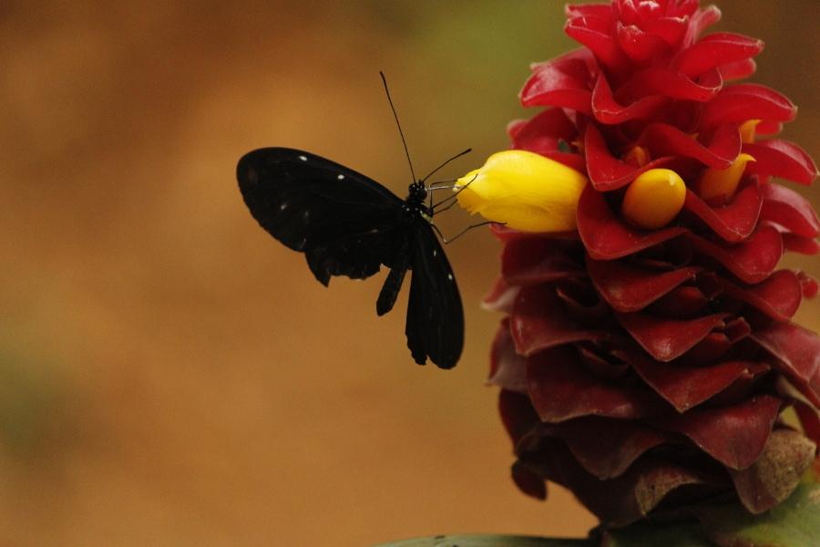 Papallona pol·linitzadora alimentant-se / Leo Perez.x (flickr)
