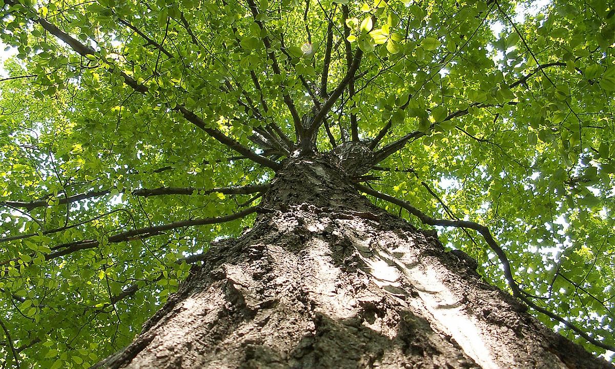 'Acer saccharum' / Cephas (Wikimedia)