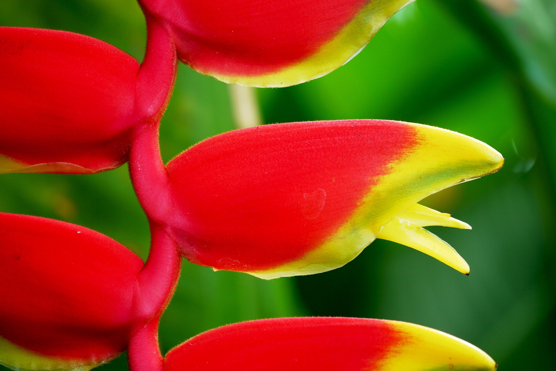 Originàries del Centre i Sud d'Amèrica i les illes pacífiques, el gènere Heliconia atrau al colibrí amb les cridaneres fulles i bràctees que embolcallen les flors. Aquesta planta au del paradís és el símbol del Jardí Botànic de Santa Cruz. / Jose Aparici