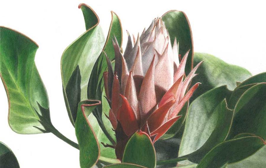 'Protea' sp. / Jose Carlos Menezes Souza